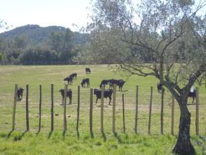 déjeuner des taureaux