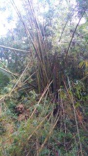 d'énormes bambous cassés après l'ouragan comme des allumettes