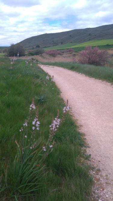 """""""Asfódelos"""" de ce côté-ci des Pyrénées... eh oui, chez nous c'est de belles asphodèles!"""