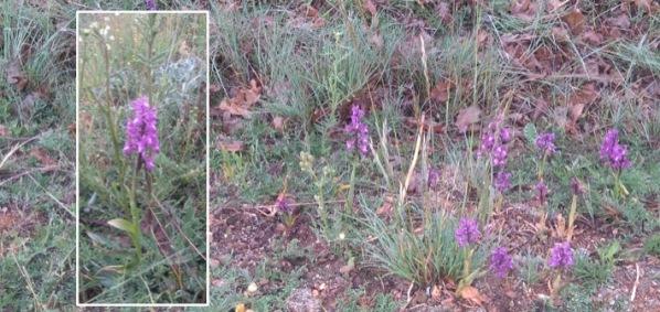 orchidées sauvages sur le bord du chemin