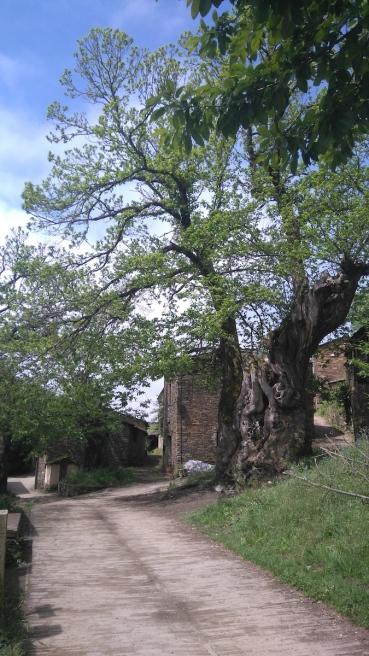 Juste avant Triacastela, ce châtaignier était déjà là au 13ème siècle !